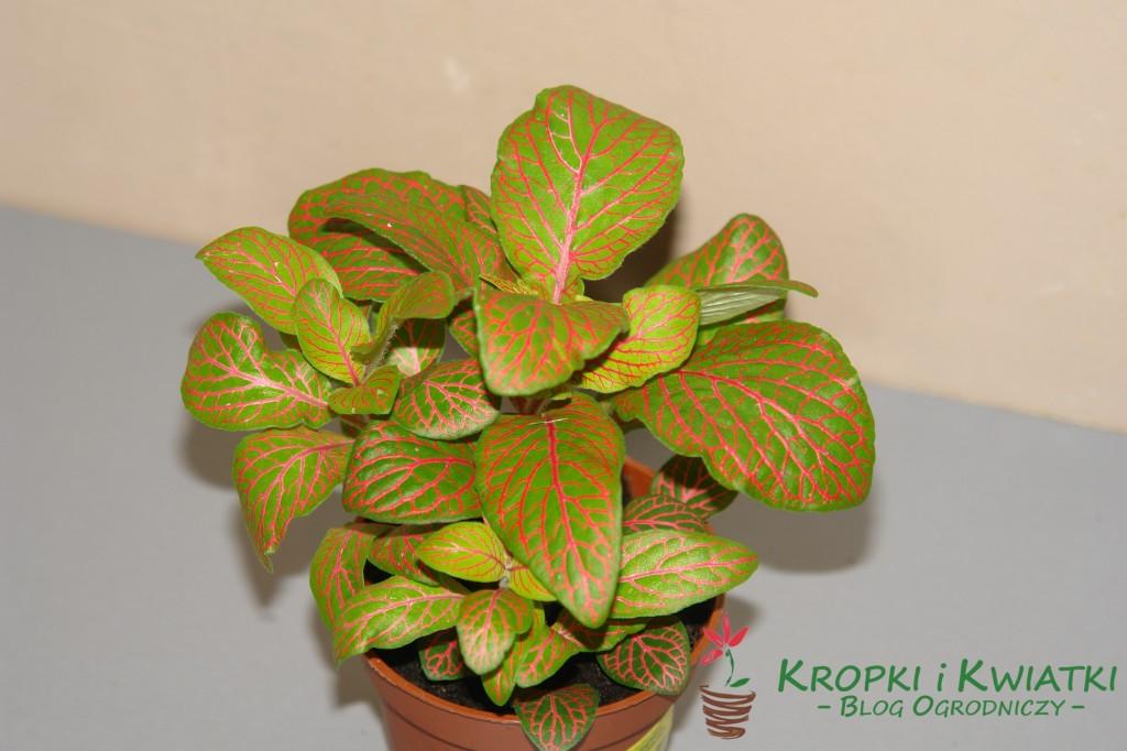 Fitonia verschaffelta - Fittonia verschaffeltii
