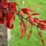 Erytryna grzebieniasta Erythrina crista-galli