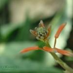 Haworsja kwiatostan