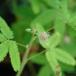 Mimoza wstydliwa Mimosa pudica