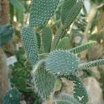 Opuncja drobnokolczasta Opuntia microdasys