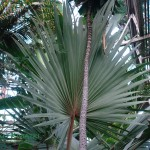 Waszyngtonia robusta Washingtonia robusta