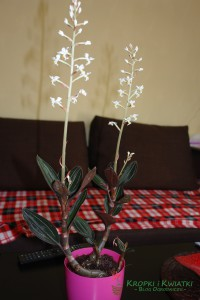 Ludisia storczyk