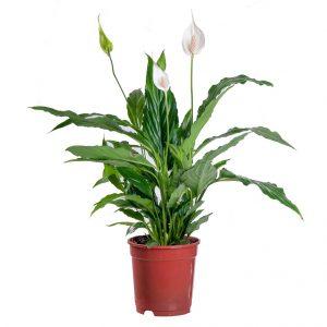 Skrzydłokwiat wdoniczce