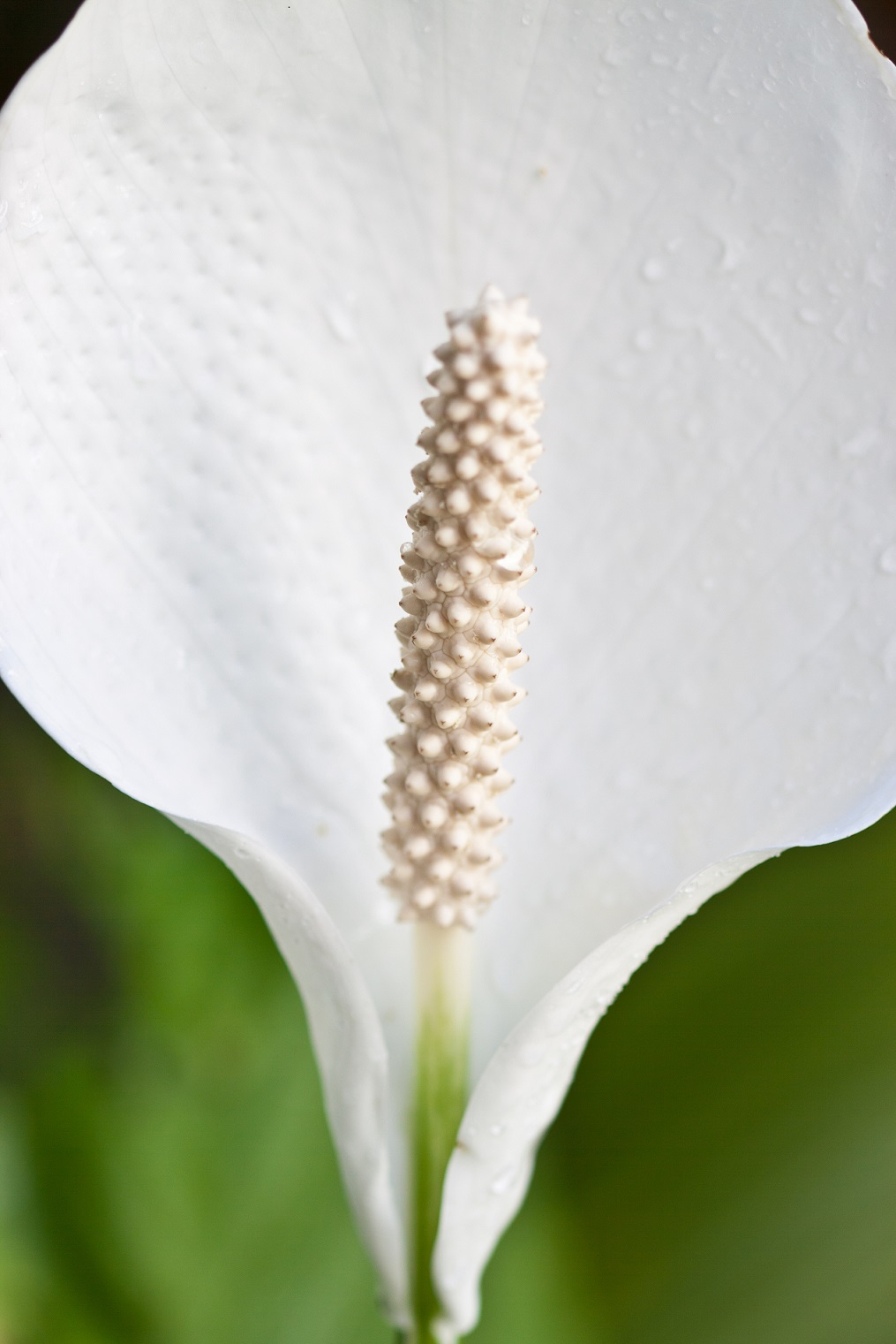 Skrzydłokwiat uprawa