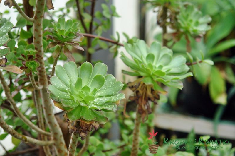 Aeonium arborescens
