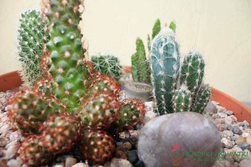kaktusowy ogród wdoniczce