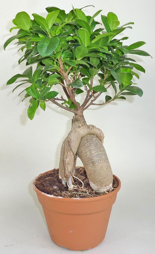 fikus tępy bonsai