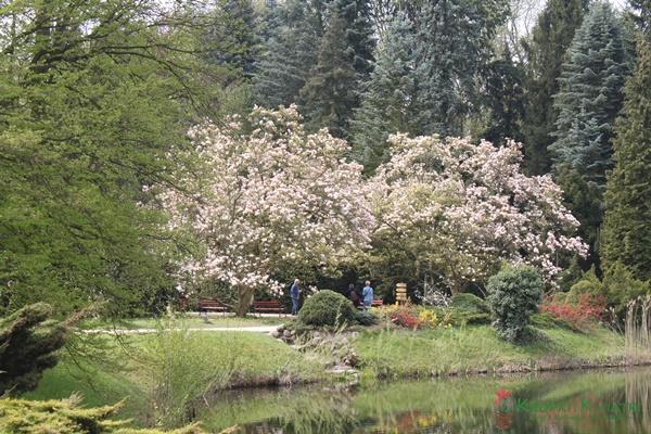 magnolie kórnik arboretum