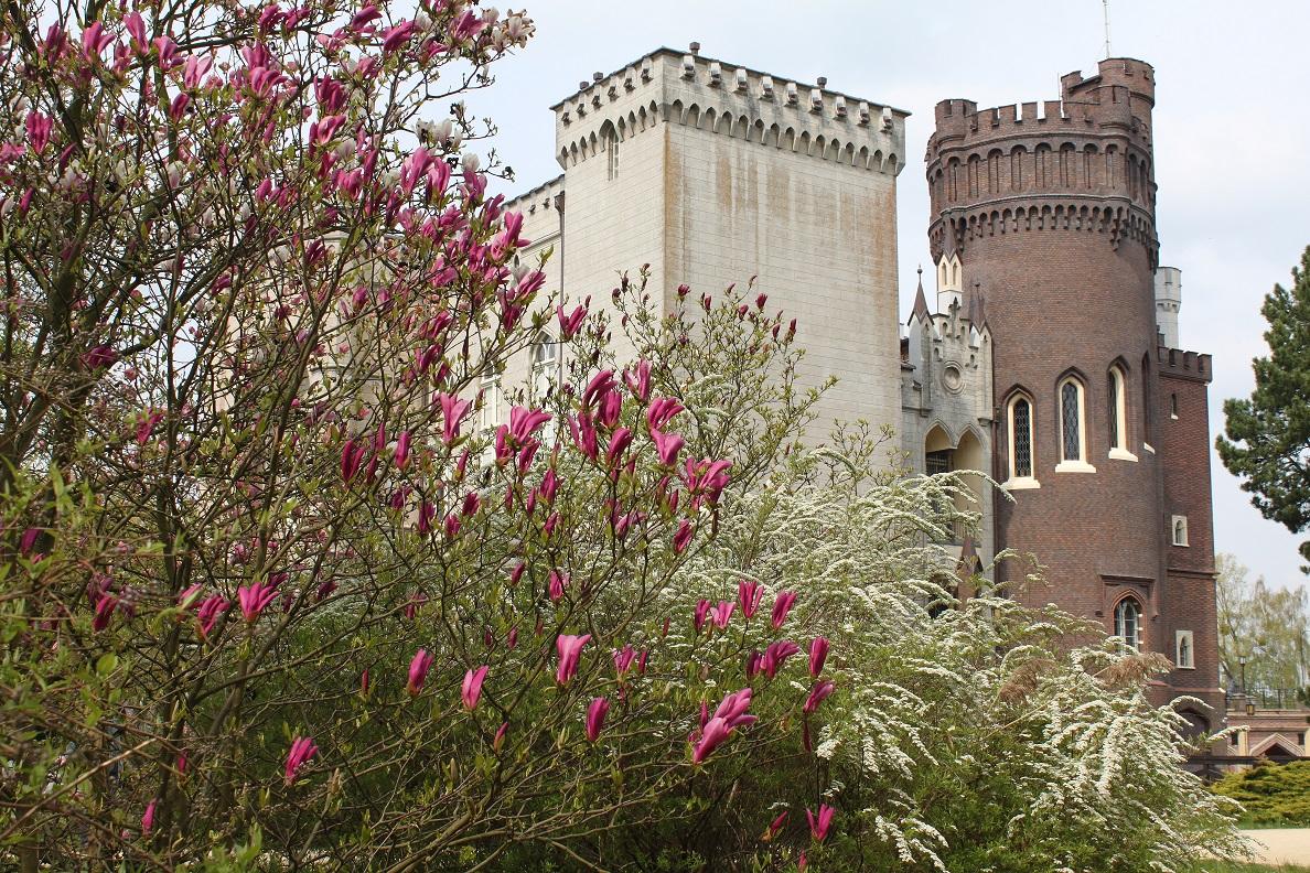 Photo of Kórnik bezkur, czyli miejsce gdzie rosną magnolie