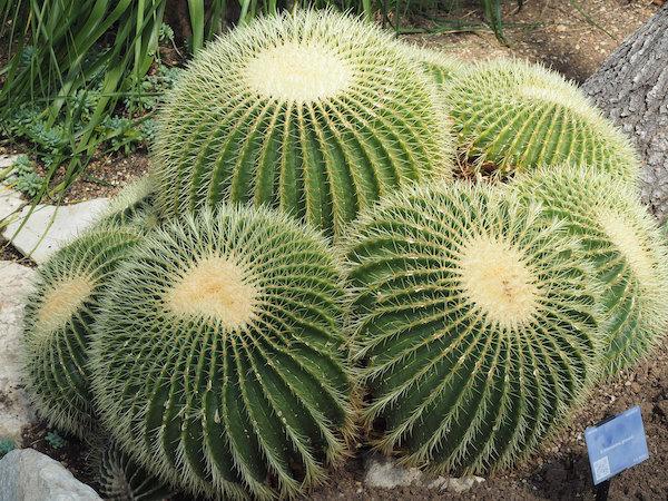 echinocactus grusonii fotel teściowej